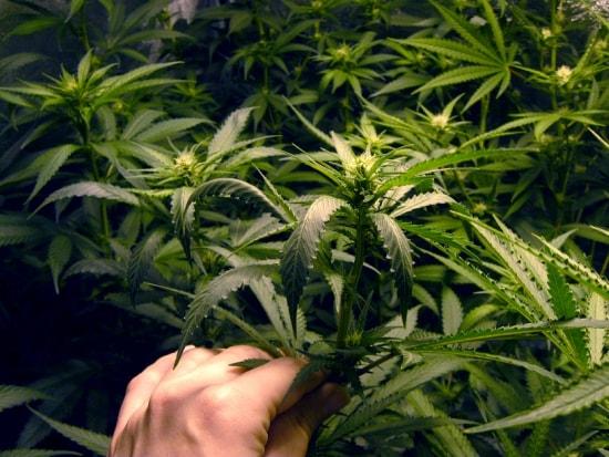 Image du Début de Floraison Plantes de Cannabis en Culture d'Intérieur