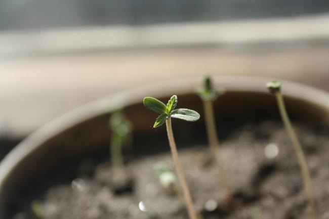 Image de Jeunes pousses de Plant de Cannabis avec Cotyledons
