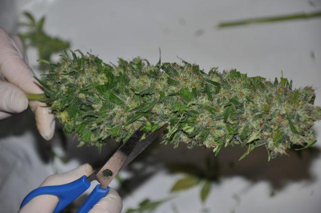 Image de Manucure de Têtes de Cannabis