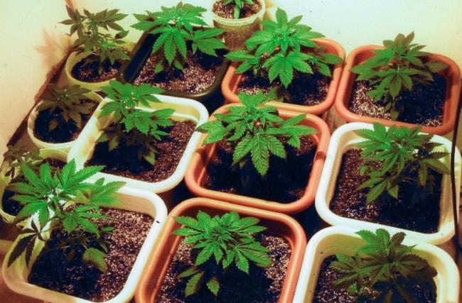 Image de Plantes de Cannabis en Phase de Croissance en culture d'Intérieur