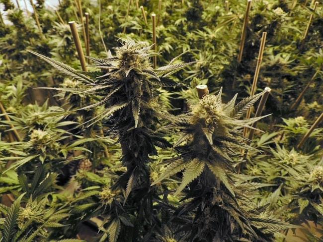 Image de Plantes de Cannabis en Phase de Floraison avec des Grosses Tetes